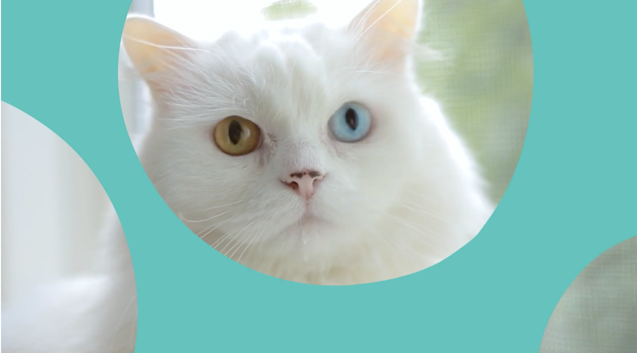 white cat with two different coloured eyes